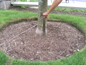 This sugar maple was planted six inches too deep