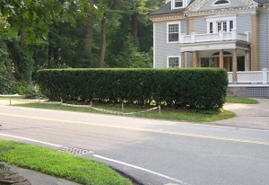 6-foot high Taxus hedge before renovation