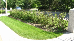 Taxus hedge cut down to 3' height, and thinned