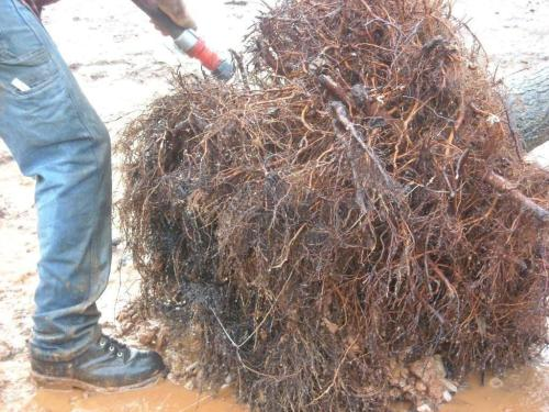 Dense mass of roots revealed