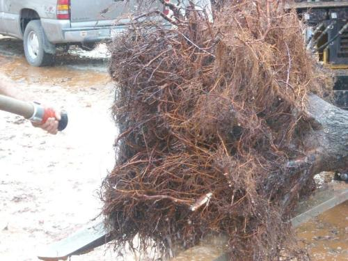 Preserving these roots should help the tree's chances of survival