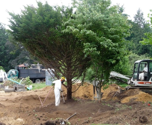 Taxus and Cornus kousa planted closely together, as part of a larger planting that has already been dismantled.