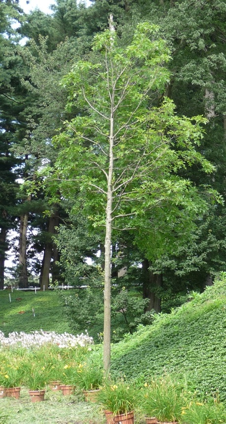 Conventionally planted pin oak, planted at the same time as the first tree, showing signs of stress