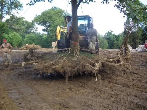Here is what a well-tied tree looks like in transit.  Note how the roots have been carefully pigtailed, and tiebacks to the tree's trunk are done neatly and professionally, to preserve the roots during excavation and in transit.