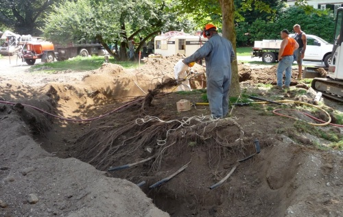 Lots of root mass.  Irrigation lines run through it; they are cut during the trenching process, and then pulled out in feet-long lengths once enough soil has been blown away from the roots.