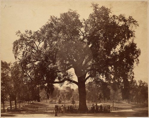The Old Elm on Boston Common, 1876 Courtesy Boston Public Library via Flickr; Creative Commons License:http://creativecommons.org/licenses/by-nc-nd/2.0/deed.en